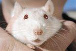 Сколько живет домашняя крыса