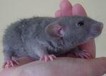 """Молодой крысенок породы """"рекс"""""""
