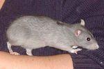 Безхвостая декоративная крыса