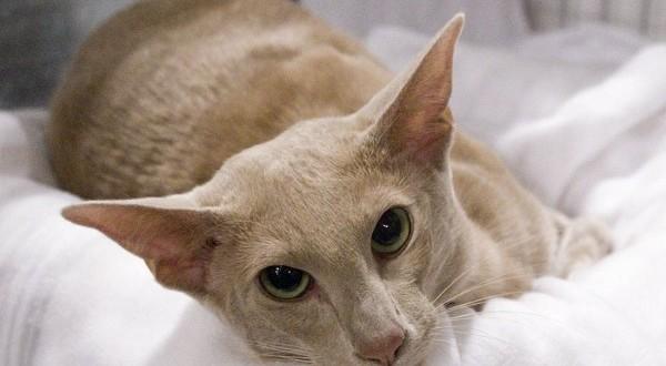 Ориентальная кошка — королева в кошачьем мире