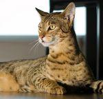 Кот породы ашера