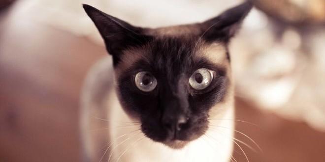 Сиамская кошка — лунный бриллиант