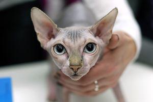 Кошка-сфинкс у врача