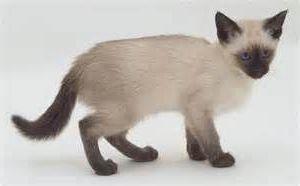 Подбираем имена для сиамских кошек девочек и мальчиков