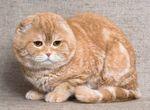 Кот скоттиш-фолд