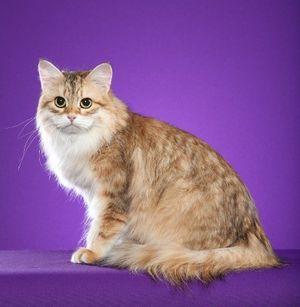 Стандарт породы сибирская кошка