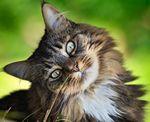 Описание породы сибирская кошка