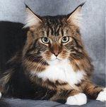 Большой кот мейн-кун