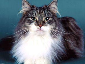Описание сибирской кошки