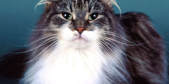 Сибирская кошка — история Золушки