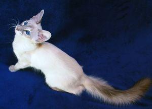 Описание балинезийской кошки