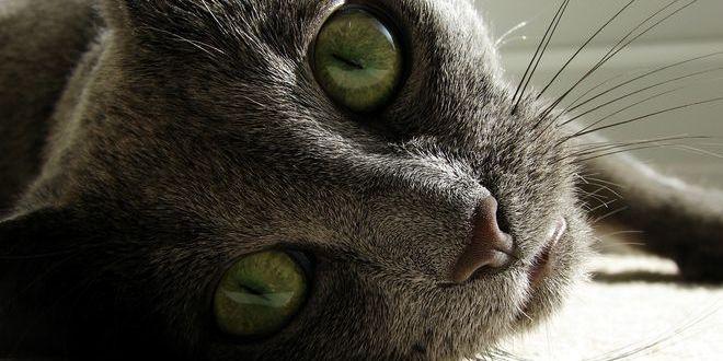 Русская голубая — кошка с улыбкой Джоконды