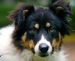 Порода собак - бордер-колли