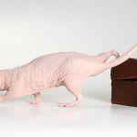 Голая крыса сфинкс фото