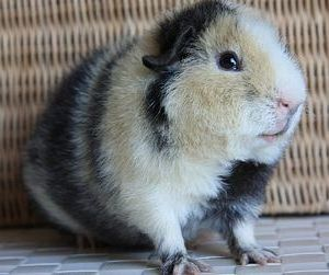 Содержание свинки тедди
