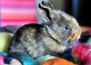 Короткошерстный цветной карликовый кролик