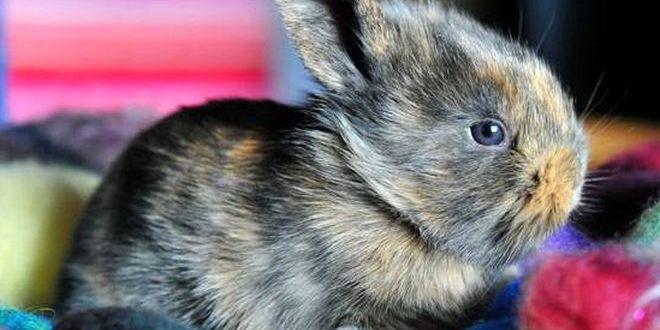 Короткошерстный карликовый кролик — товарищ на вкус и цвет