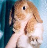 Отзыв о вислоухом кролике карлике