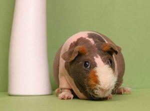 Домик для лысой морской свинки
