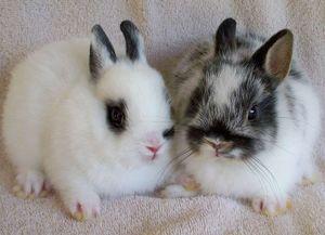 Особенности голландского кролика карлика