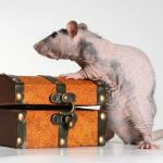 Домашняя голая крыса