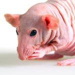 Голая декоративная крыса