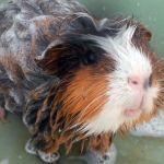 Абиссинская трехцветная морская свинка