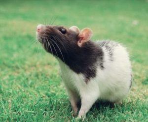 Крысы во сне