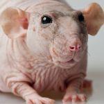 Взрослая особь крысы-сфинкса