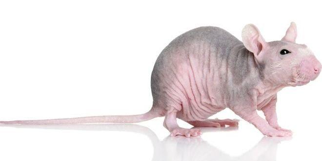 Лысая крыса — еще один загадочный сфинкс
