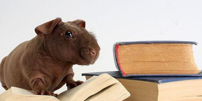 Лысая морская свинка — домашний бегемотик