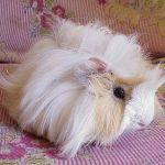 Белая розеточная свинка