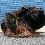 Детеныш абиссинской свинки