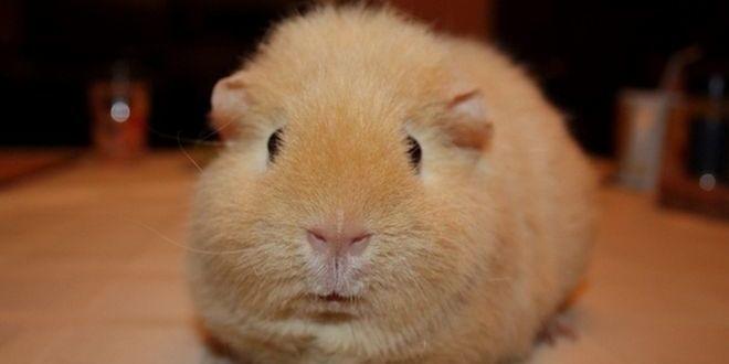 Американский тедди — самая прикольная морская свинка
