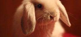 Мини-барашек — вислоухий карликовый кролик