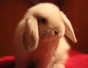 Карликовый кролик баран
