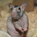 Лысая крыса фото