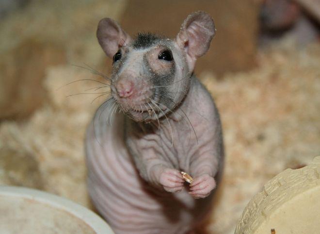 голые крысы цена-бх1