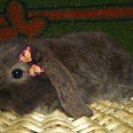 Вислоухий карликовый крольчонок