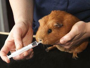Лечение катаракты у свинок