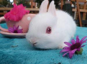 Содержание голландского карликового кролика