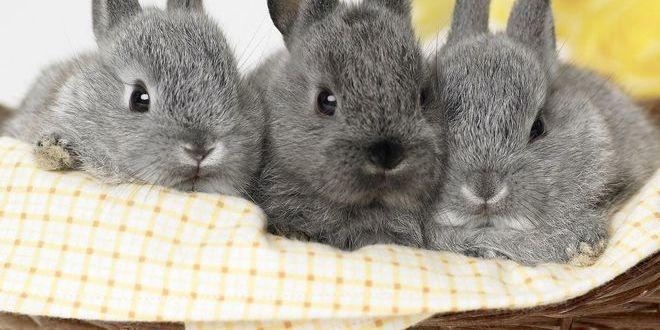 Голландский карликовый кролик — маленький да удаленький
