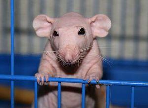 Болезни лысых крыс