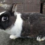 Карликовый голландский кроль