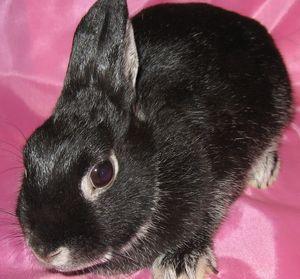 Характер цветного карликового кролика
