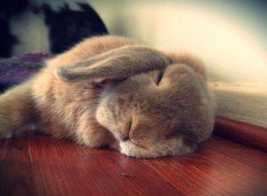 Сонник Хассе кролик