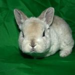 Крольчонок мини-рекса