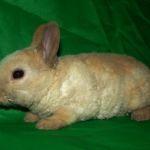 Крольчонок карликового рекса
