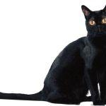 Изображение бомбейского кота