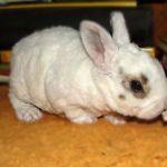 Маленький кролик рекс фото